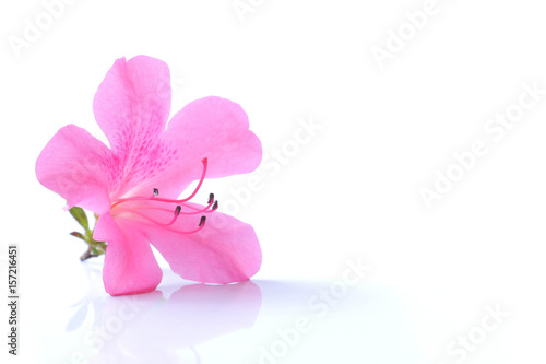 Poster de jardin Azalea Japanese pink azalea flower isolated