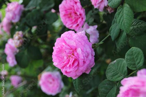 Garden Poster Pink Pink rose in a summer garden