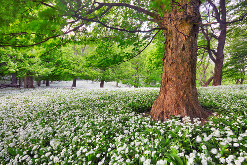 Keuken foto achterwand Olijf Tree in white flowers meadow, beauty forest landscape