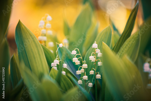 In de dag Lelietje van dalen lily of the valley at spring sunset