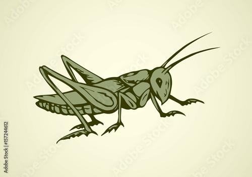 Fotografia Grasshopper. Vector drawing