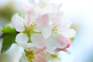 Fototapetaapple blossom