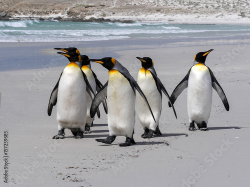 In de dag Pinguin King Penguin Group, Aptenodytes patagonica, on the white sandy beach of Volunteer Point, Falklands / Malvinas