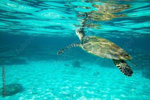 Wall Murals Green coral A turtle sitting at corals under water surface