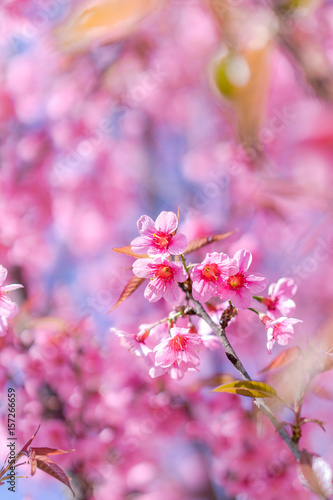Fotografie, Obraz  Wild Himalayan Cherry Cherry Blossom Thailand in Chiang Mai