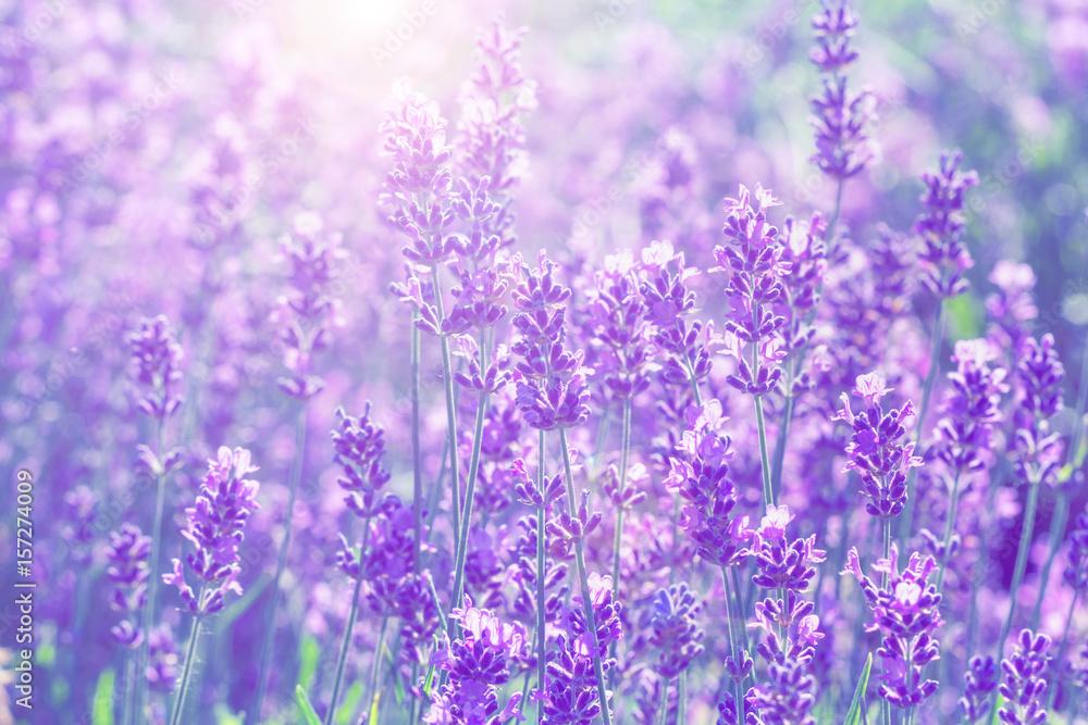 field lavender  blur background wallpaper