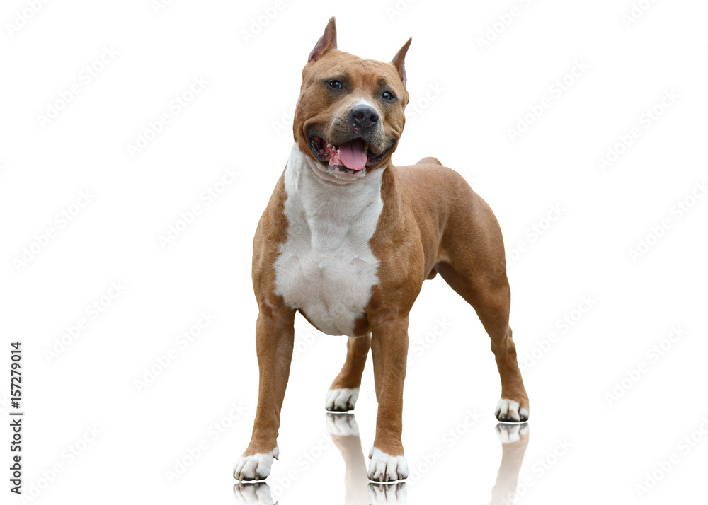 Fototapety, obrazy: Powerfull American Staffordshire Terrier standing isolated on white background
