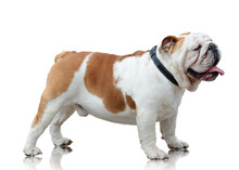 English Bulldog Standing Isolated On White Background Side View