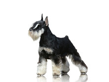 Miniature Schnauzer Standing Isolated On White Background Side View