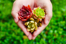 Top View Cute Colorful Flora Succulent Plant In Woman Hand