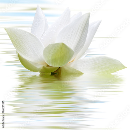 Obraz lilia wodna biale-platki-lilii-wodnej-odbijajace-sie-w-tafli-wody