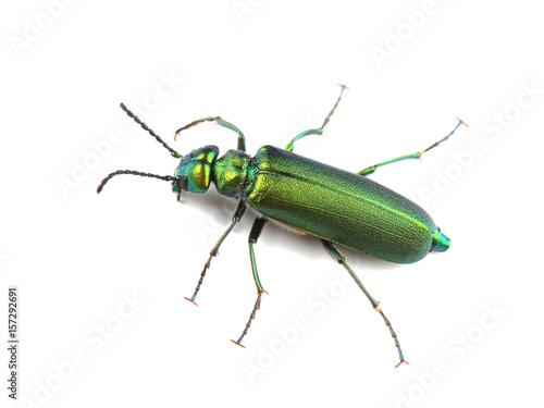 Beetle - Spanish fly (Lytta vesicatoria) isolated on white Fototapeta