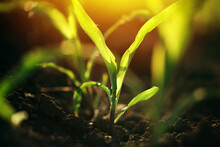 Young Small Corn Plant Seedlings In Soil