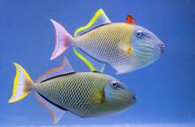 Crosshatch Trigger Fish