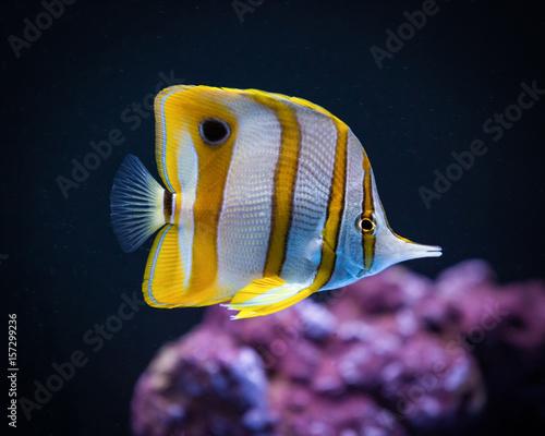 Fotografie, Obraz  Copperband Butterfly fish