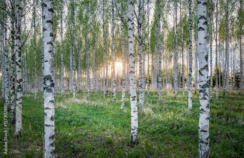 malowniczy-krajobraz-z-wieloma-promieniami-brzozy-i-slonca-w-letni-wieczor