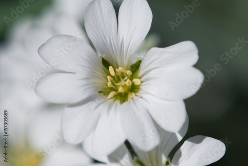 Garden Poster Floral White saxifrage, close up, white flowers,