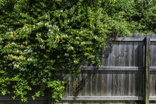 Cluster Of Overgrown White And Yellow Wild Honeysuckle Tumbling Over A Wooden Fence