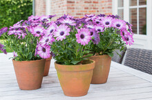 Garden Still Life: Purple Spanish Daisies In Terracotta Pots On Wooden Garden Table.
