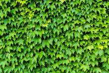 Green Ivy On The Wall Texture Or Background