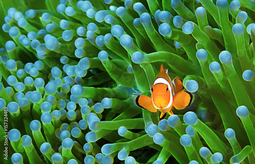 Clownfish, Amphiprion ocellaris Tablou Canvas