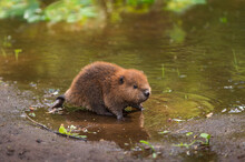 North American Beaver Kit (Castor Canadensis) Stands On Shoreline