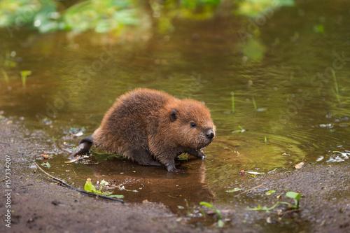 North American Beaver Kit (Castor canadensis) Stands on Shoreline Canvas Print