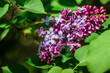 the pink lilac in the summer day