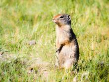 Columbian Ground Squirrel In G...