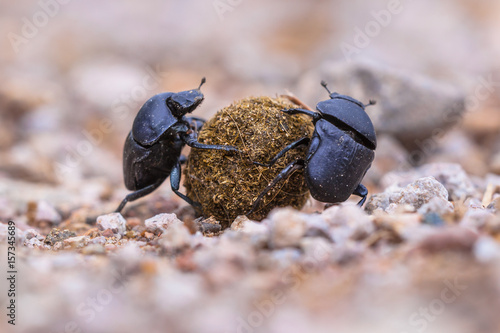 Two strong slogging dung beetles Wallpaper Mural