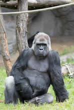 Male Strong Gorilla Sitting On...