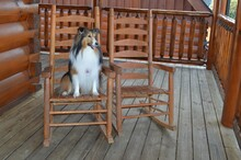 Happy Collie Sitting On Cabin ...