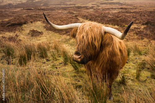 Deurstickers Schotse Hooglander scottish highland cow in field. Highland cattle. isle of skye ,Scotland