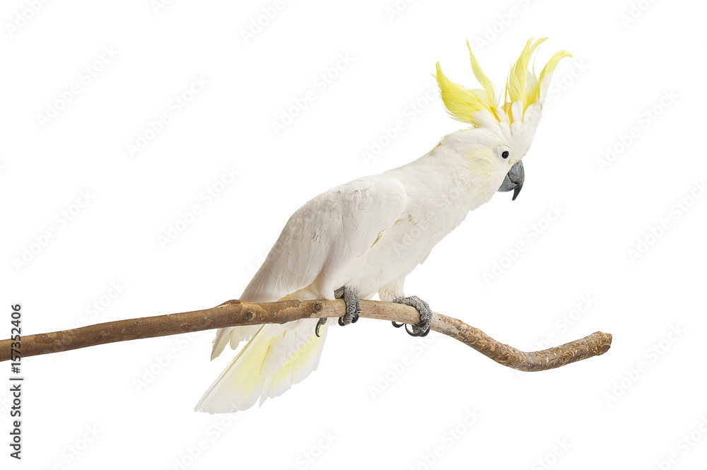 Sulphur-crested Cockatoo,  Cacatua galerita perched in front of a white background.