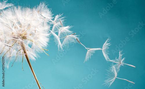 Fotobehang Paardebloem Abflug / Flugschirme der Pustblume beim Start: Wir fliegen davon, um Wünsche zu erfüllen :)