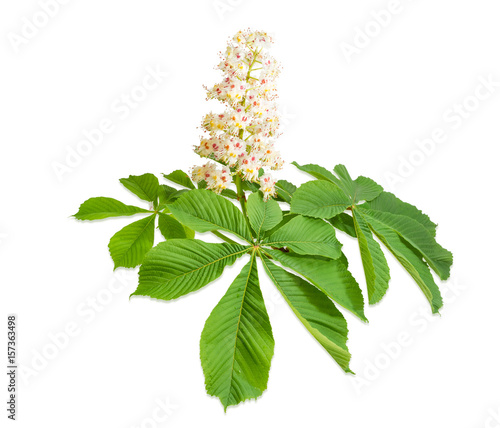 Branch of the blooming horse-chestnuts on a light background