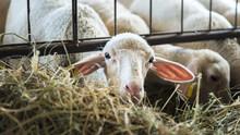 Flock Of Lamb Feeding On Hay, ...