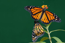 Two Monarch Butterflies Are Pe...