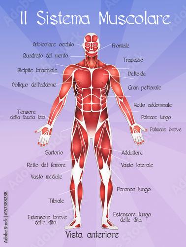 The muscolar system – kaufen Sie diese Illustration und finden Sie ...