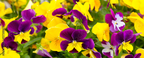 close up of mixed colorful pansy flowers