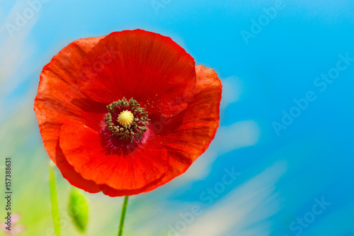 Poster Poppy red poppy flower over blue sky