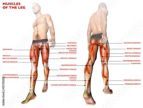 Muscoli delle gambe, corpo umano, anatomia, sistema muscolare, persona anatomia Wallpaper Mural