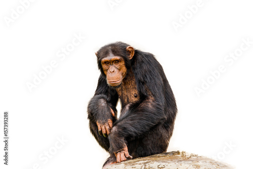 The portrait of black chimpanzee isolate on white background.