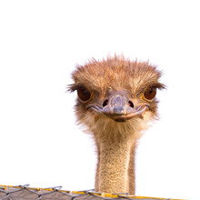 Funny And Strange Ostrich Look...