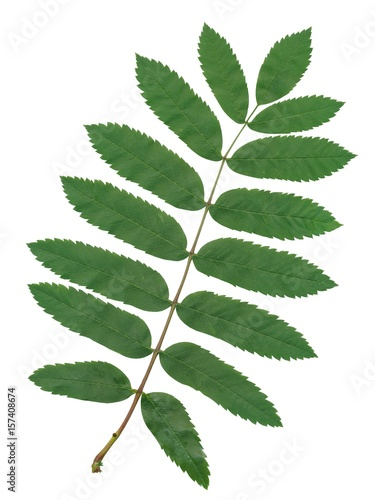 zielony-lisc-drzewa-jarzebiny-na-bialym-tle