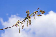 Nothern Red Or Champion Oak Quercus Rubra Blossom Macro Against Blurred Sky, Selective Focus, Shallow DOF