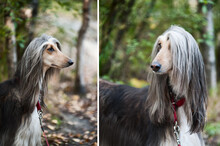 A Portrait Of A Dog, An Afghan Greyhound, A Diptych. The Dog Is Like A Man.