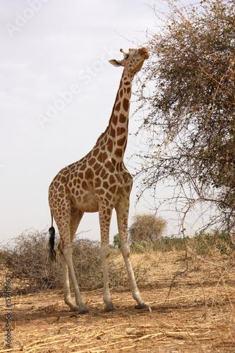 giraffe Plakát