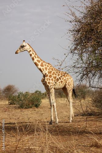 Canvastavla  giraffe