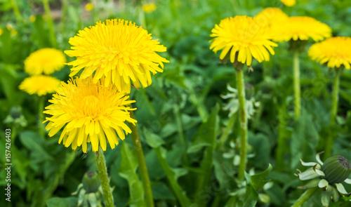 Fotobehang Paardebloem Fresh bright yellow dandelion flowers